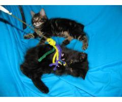 Продаются котята курильского бобтейла - Image 7