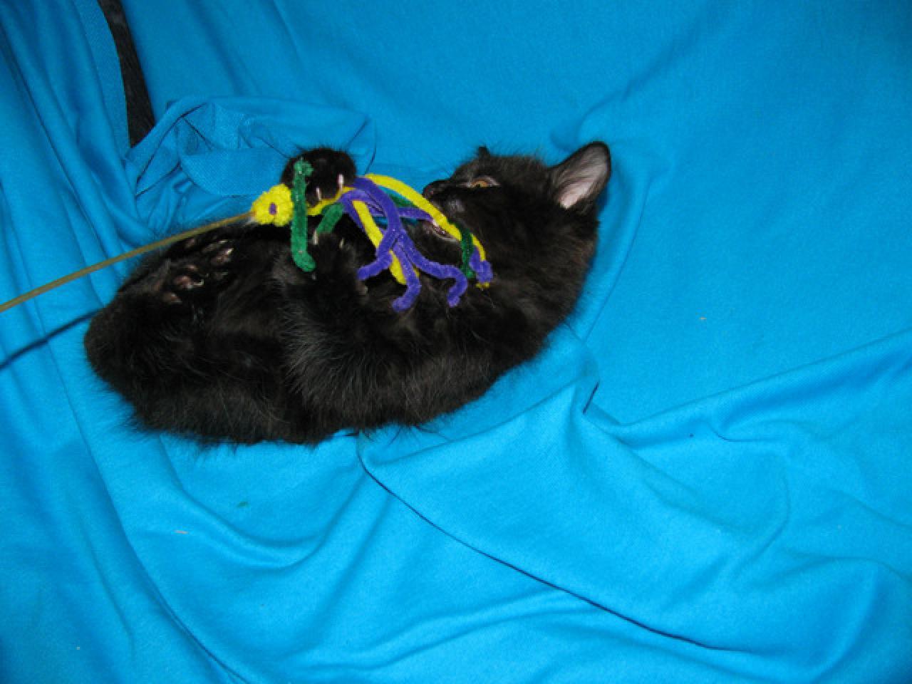 Продаются котята курильского бобтейла - 8