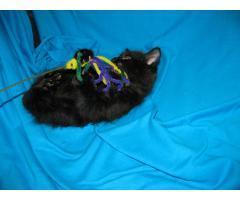 Продаются котята курильского бобтейла - Image 8