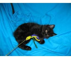 Продаются котята курильского бобтейла - Image 9