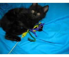 Продаются котята курильского бобтейла - Image 10