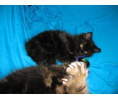Продаются котята курильского бобтейла - Image 11