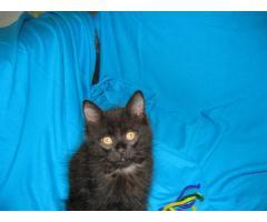 Продаются котята курильского бобтейла - Image 12