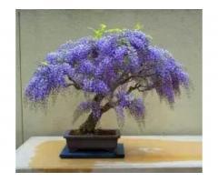 Карликовые деревья (бонсай)