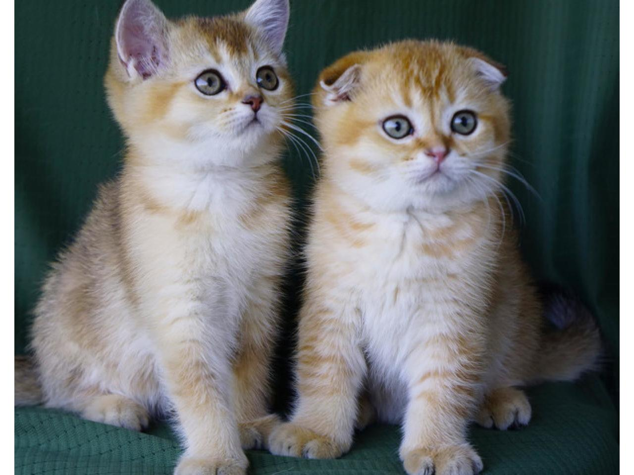 Шотландские котята - 1