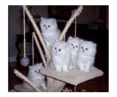 Привлекательные белые персидские котята