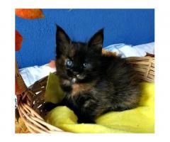 Мейн-кун котята - Image 6