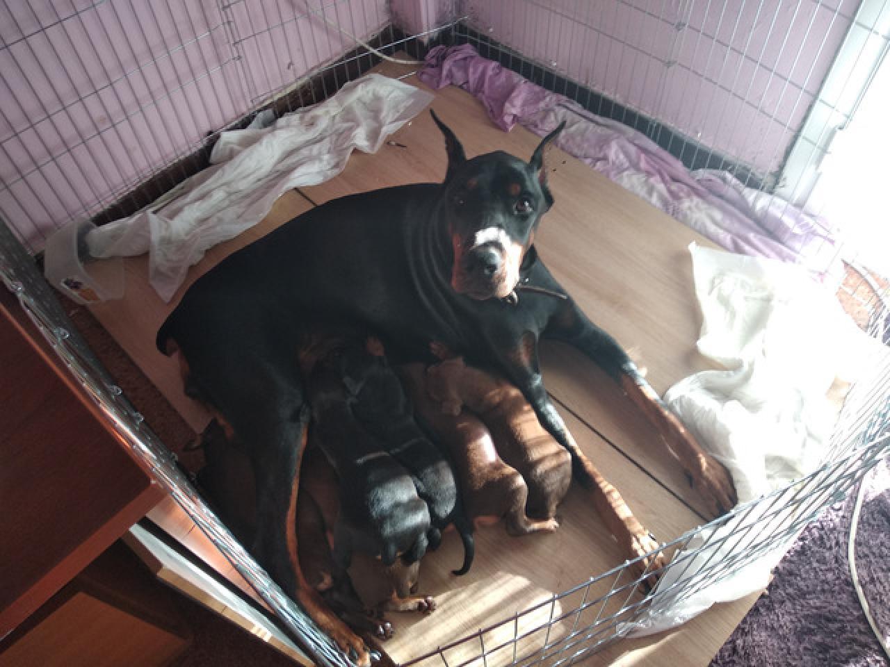 Продаются щенки доберманы - 8