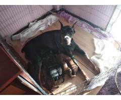 Продаются щенки доберманы - Image 8