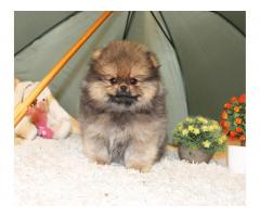 щенок померанский шпиц - Image 2