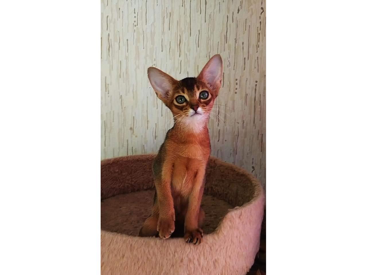 Абиссинские клубные котята - 1
