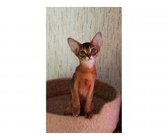 Абиссинские клубные котята - Image 1