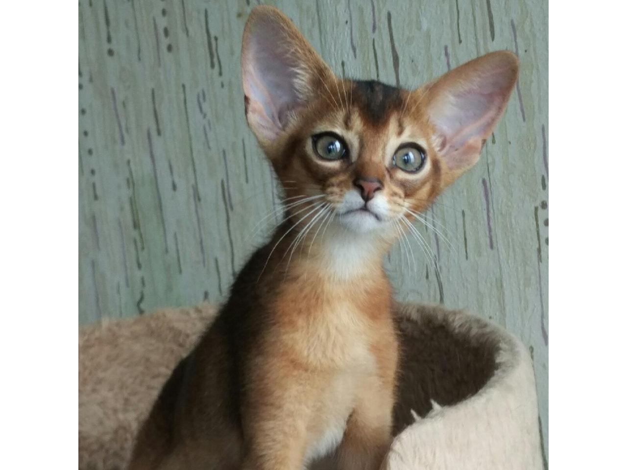 Абиссинские клубные котята - 2
