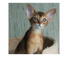 Абиссинские клубные котята - Image 2