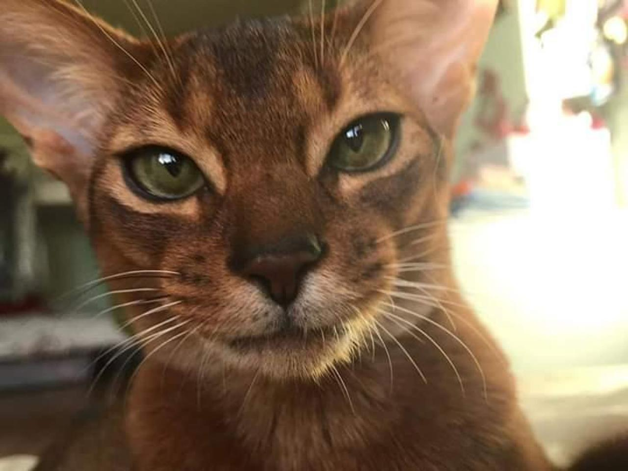 Питомник ищет партнёра по продажам Абиссинских кошек - 1