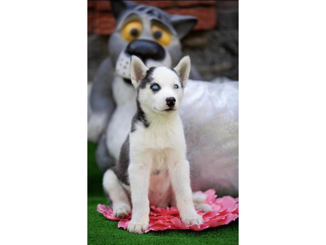 Продажа породистых щенков Хаски - 1