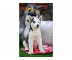 Продажа породистых щенков Хаски - Image 1