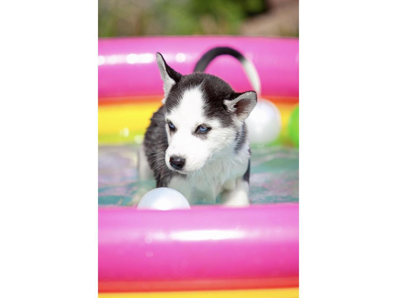 Продажа породистых щенков Хаски - 3