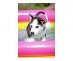 Продажа породистых щенков Хаски - Image 3