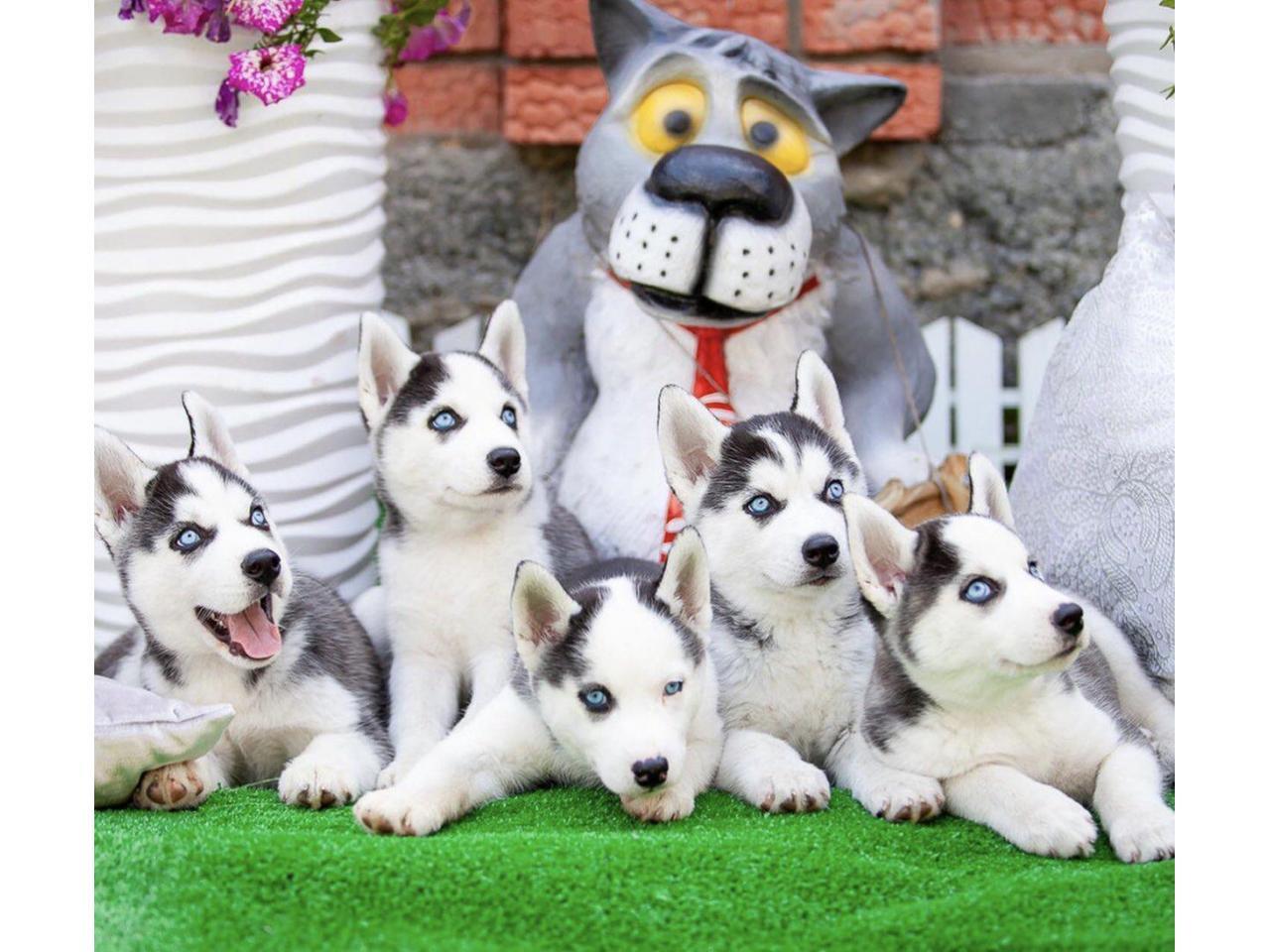 Продажа породистых щенков Хаски - 4