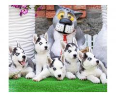 Продажа породистых щенков Хаски - Image 4