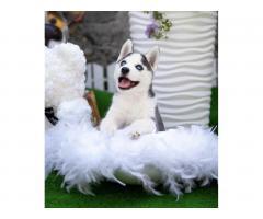 Продажа породистых щенков Хаски - Image 5