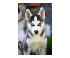 Продажа породистых щенков Хаски - Image 6