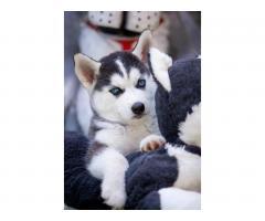 Продажа породистых щенков Хаски - Image 11