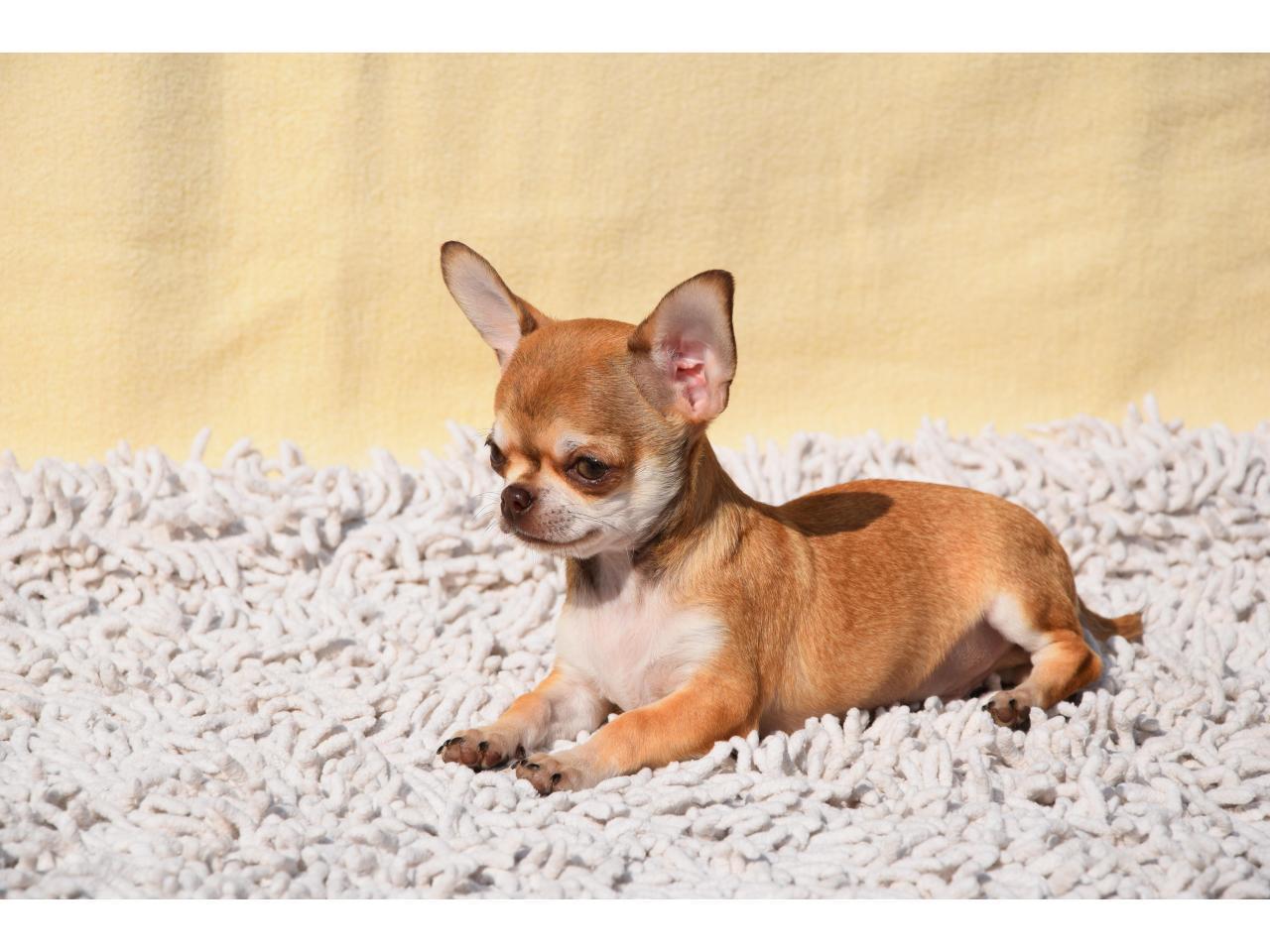 Кукольные щенки чихуа-хуа - 1