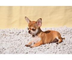 Кукольные щенки чихуа-хуа - Image 1