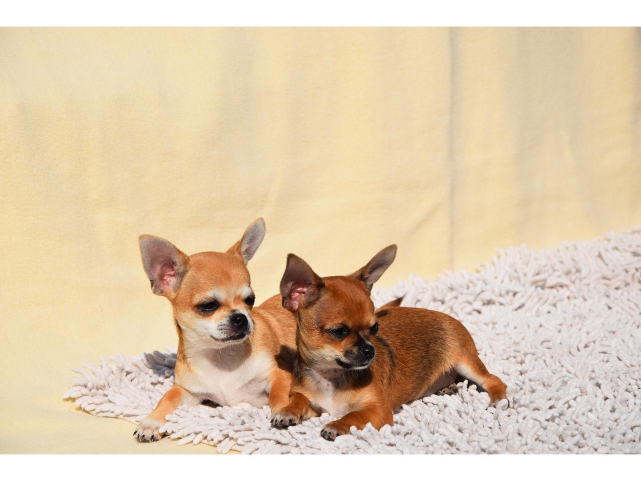 Кукольные щенки чихуа-хуа - 3