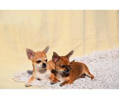 Кукольные щенки чихуа-хуа - Image 3