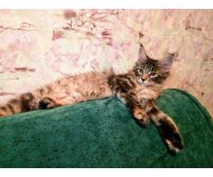 Котята Мейн Кун. Полный пакет документов, чип - Image 1