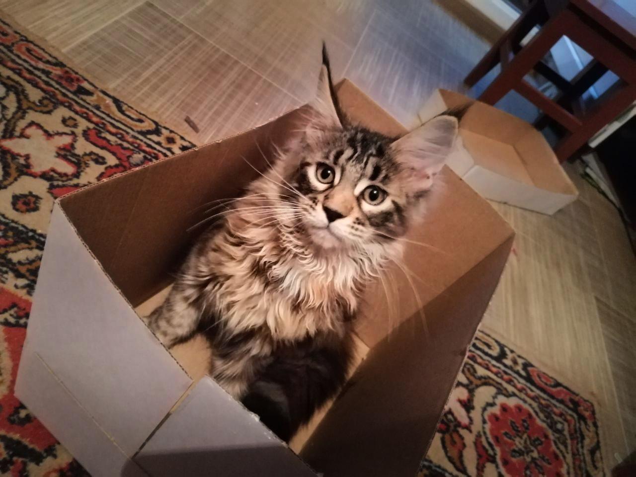 Котята Мейн Кун. Полный пакет документов, чип - 2