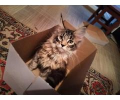 Котята Мейн Кун. Полный пакет документов, чип - Image 2