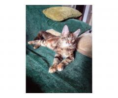 Котята Мейн Кун. Полный пакет документов, чип - Image 3