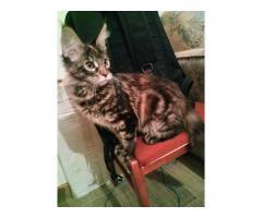 Котята Мейн Кун. Полный пакет документов, чип - Image 5