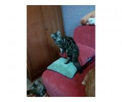 Котята Мейн Кун. Полный пакет документов, чип - Image 6