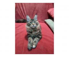 Котята Мейн Кун. Полный пакет документов, чип - Image 7