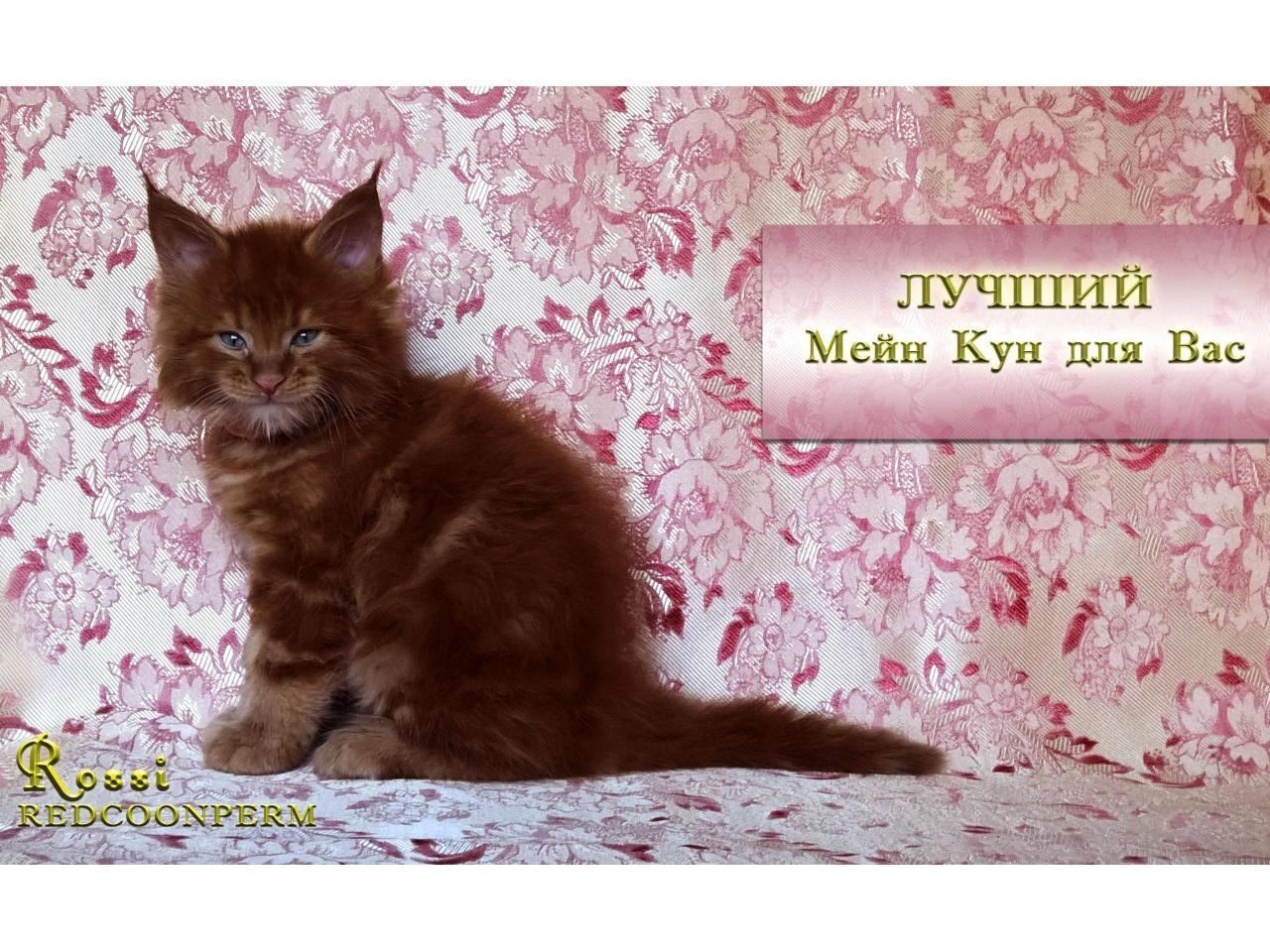Котёнок мейн кун красный. Шоу класс. Из питомника - 1
