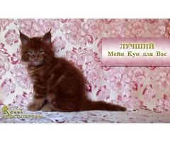 Котёнок мейн кун красный. Шоу класс. Из питомника - Image 1