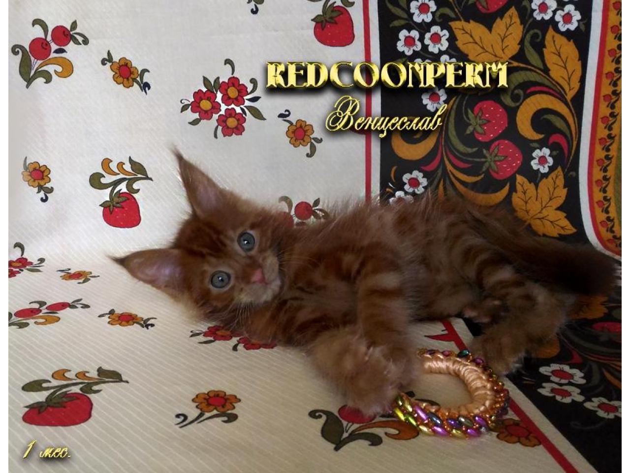 Котёнок мейн кун красный. Шоу класс. Из питомника - 2