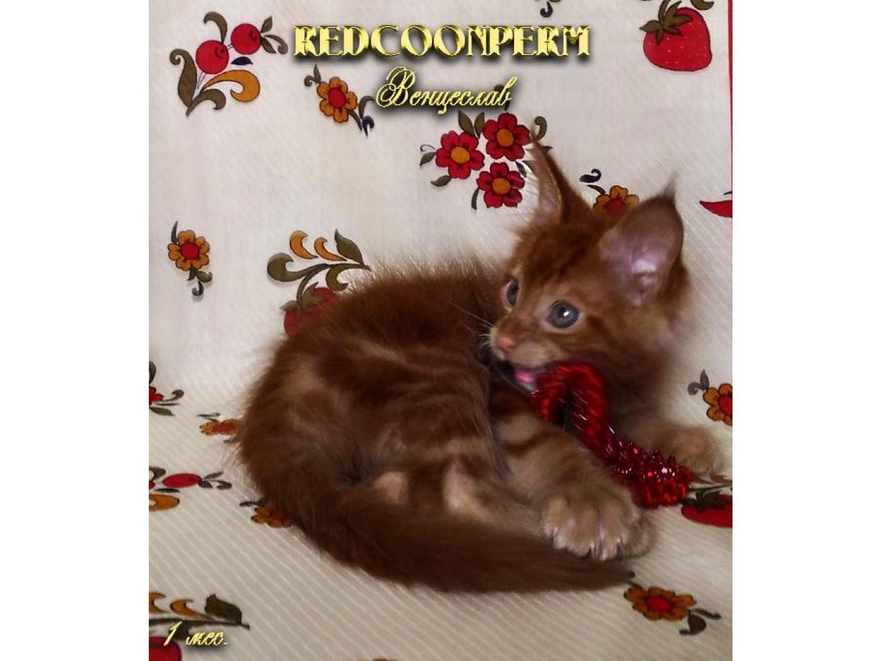 Котёнок мейн кун красный. Шоу класс. Из питомника - 3
