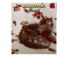 Котёнок мейн кун красный. Шоу класс. Из питомника - Image 3