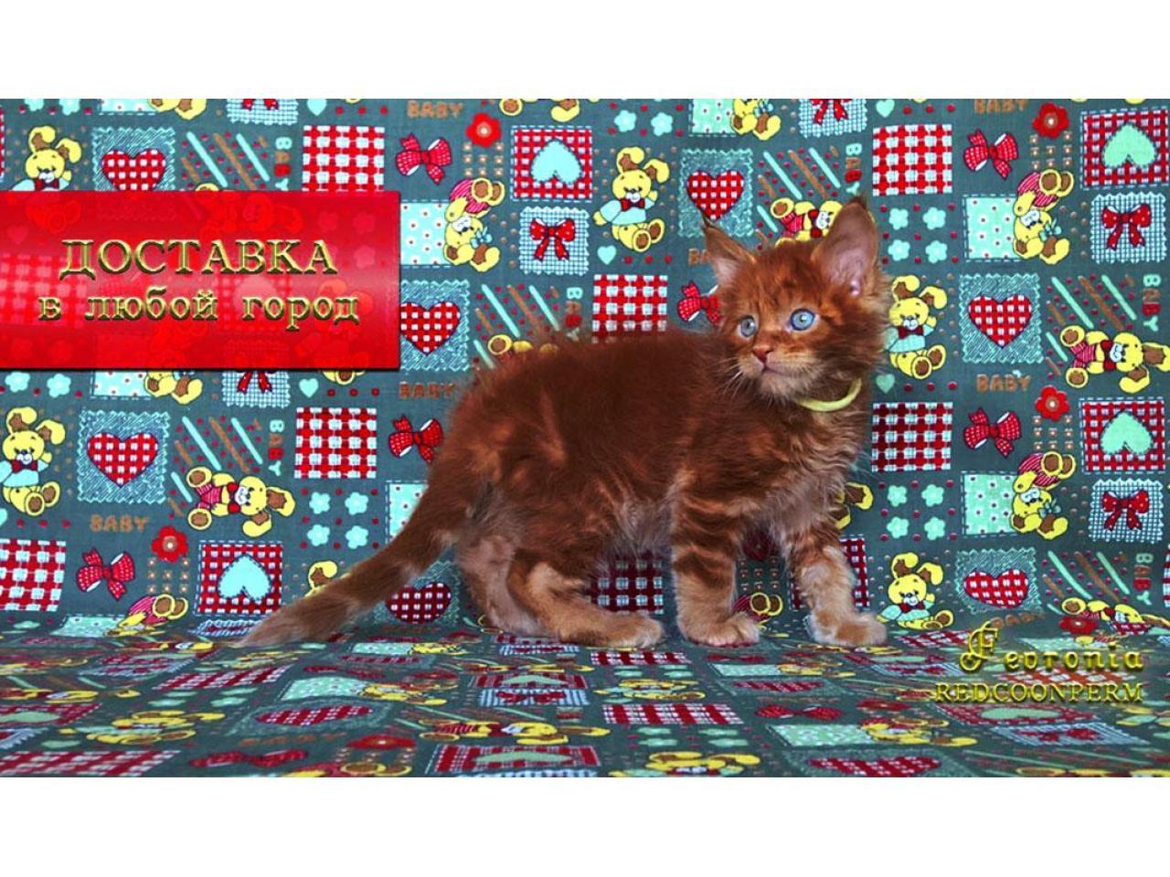 Котёнок мейн кун красный. Шоу класс. Из питомника - 4