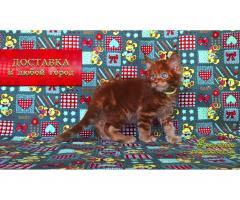 Котёнок мейн кун красный. Шоу класс. Из питомника - Image 4