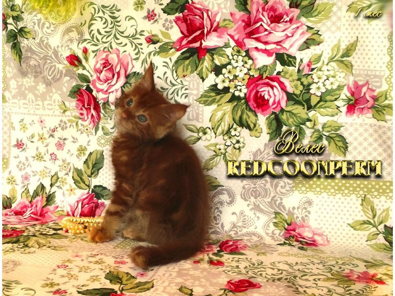 Котёнок мейн кун красный. Шоу класс. Из питомника - 5