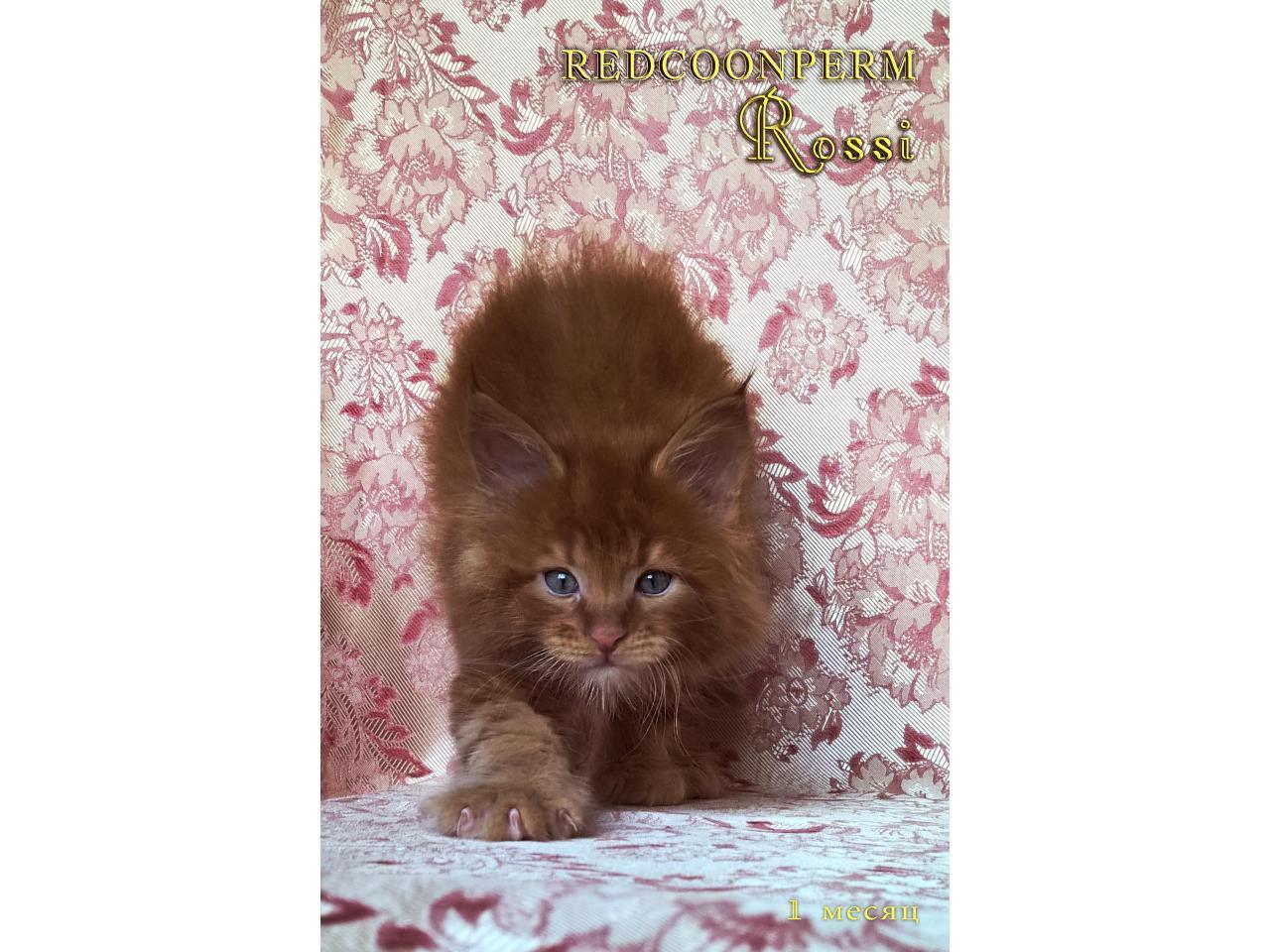 Котёнок мейн кун красный. Шоу класс. Из питомника - 6