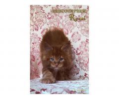 Котёнок мейн кун красный. Шоу класс. Из питомника - Image 6