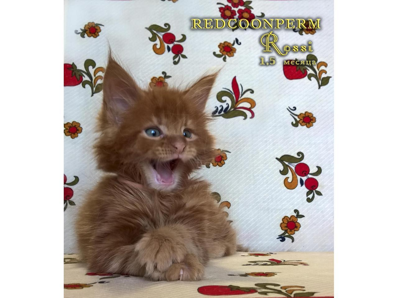 Котёнок мейн кун красный. Шоу класс. Из питомника - 7